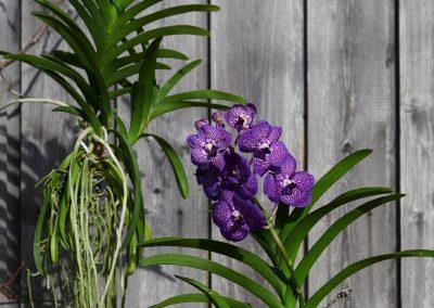 Vanda Orchideen Haengend